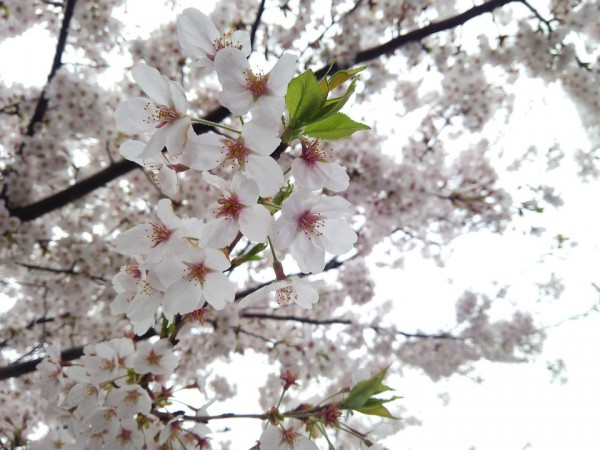cherry-1649902_960_720