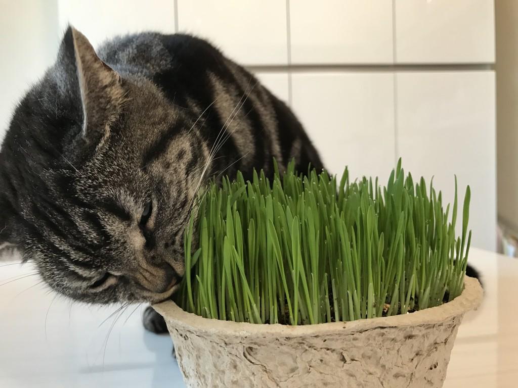 猫草(キャットグラス)が大好きです