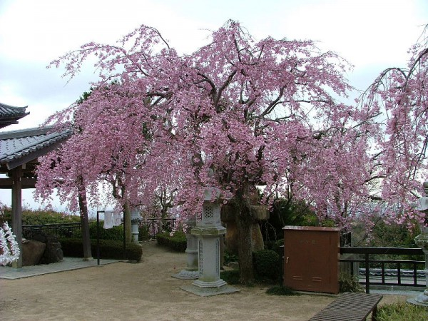 Sakura22